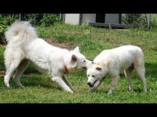 pungsan dog dogs