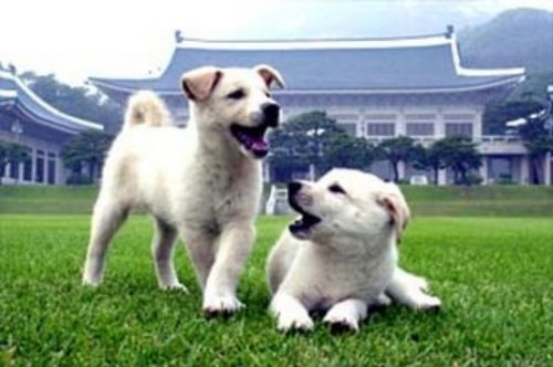 pungsan dog puppies