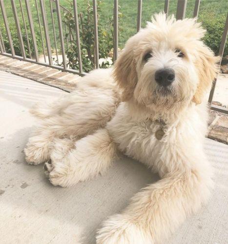pyredoodle dog