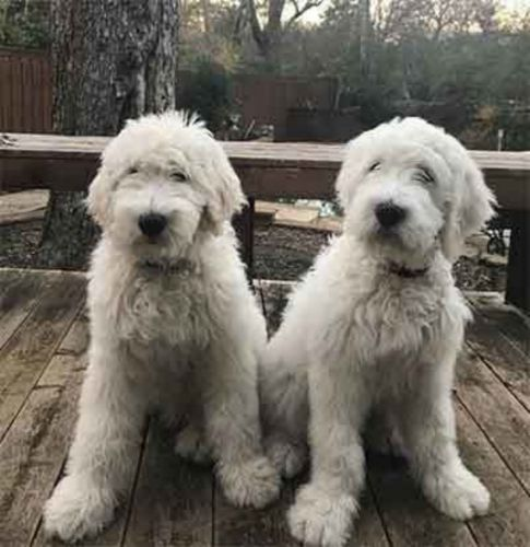 pyredoodle dogs
