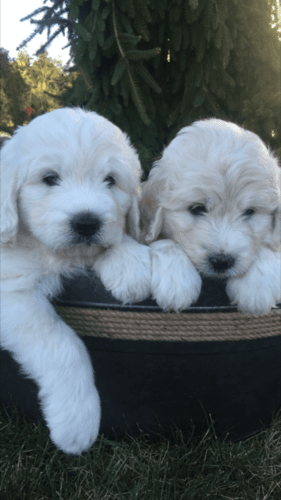pyredoodle puppies