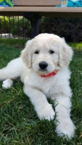 pyredoodle puppy