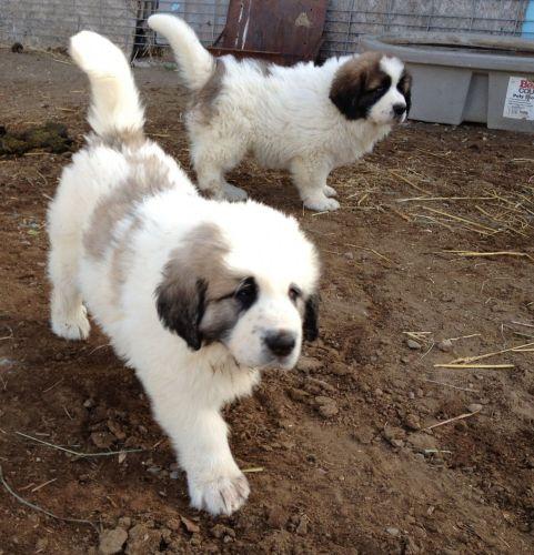 pyrenean mastiff puppies