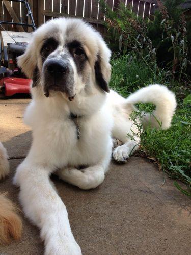 pyrenean mastiff puppy