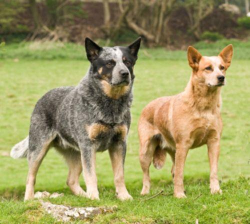 queensland heeler dogs