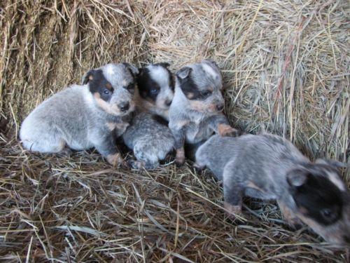 queensland heeler puppies