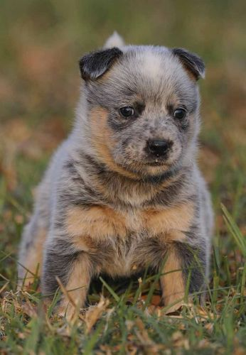queensland heeler puppy