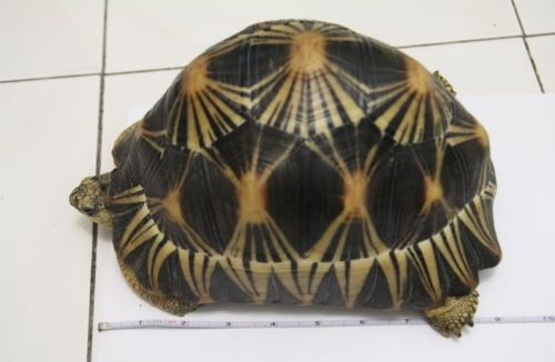 Radiated tortoise Reptiles for sale in New York, NY, USA. price 400USD