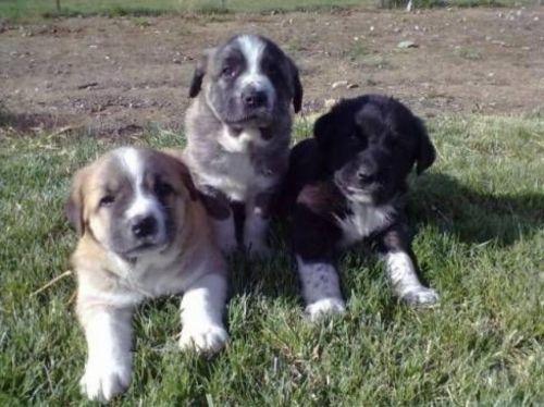 rafeiro do alentejo puppies