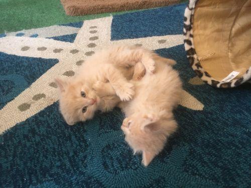Ragamuffin Cats for sale in Port Orange, FL, USA. price 500USD