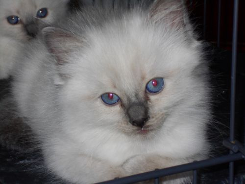Ragdoll Cats for sale in Troutman, NC, USA. price 650USD