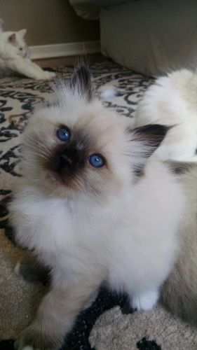 Ragdoll Cats for sale in Franklin, NC 28734, USA. price 850USD