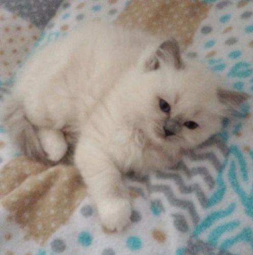 Ragdoll Cats for sale in Michigan Center, MI, USA. price 1000USD
