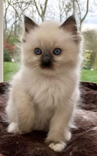 Ragdoll Kittens For Sale Tarpon Springs Florida | USAPurrs