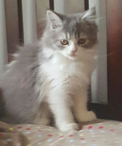 Ragdoll Cats for sale in Howell, MI, USA. price 500USD