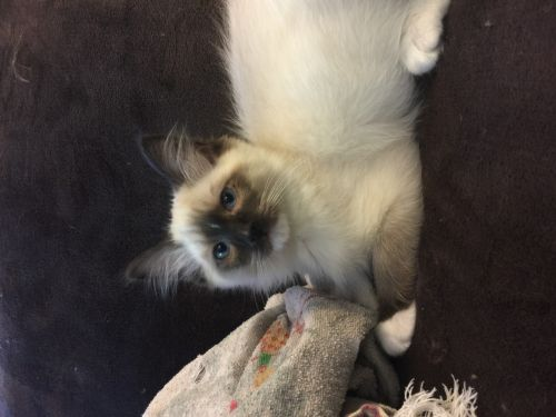 Ragdoll Cats for sale in Littlestown, PA 17340, USA. price 800USD