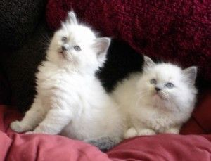 Ragdoll Cats for sale in FL-436, Casselberry, FL, USA. price -USD