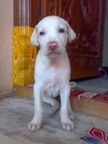 rajapalayam puppy