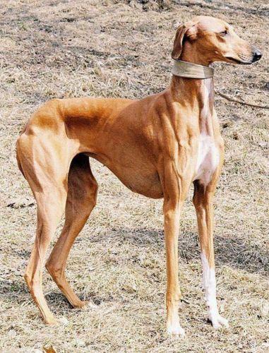rampur greyhound dog
