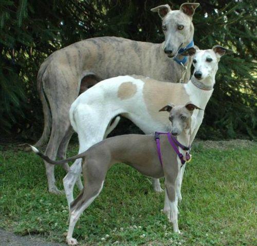 rampur greyhound dogs