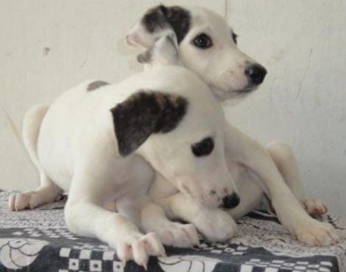 rampur greyhound puppies