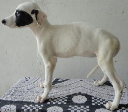 rampur greyhound puppy