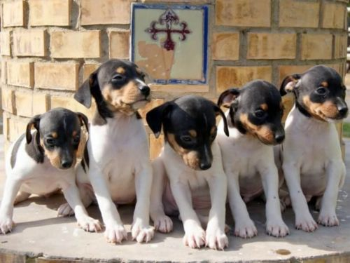 ratonero bodeguero andaluz puppies