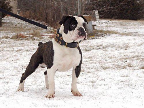 renascence bulldogge dog