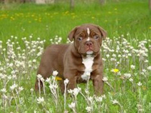 renascence bulldogge puppy