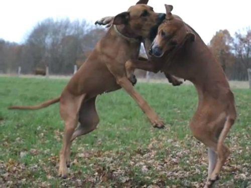rhodesian ridgeback dogs