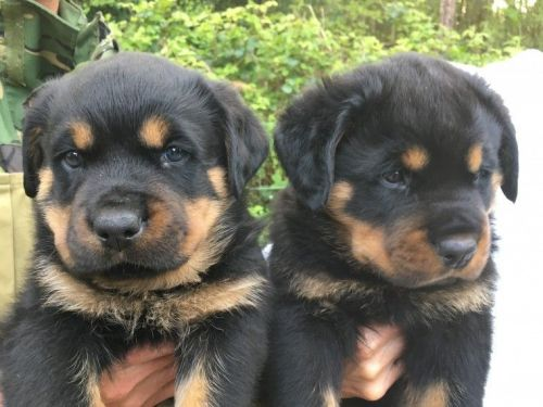 Rottweiler Puppies for sale in New York, NY, USA. price 400USD