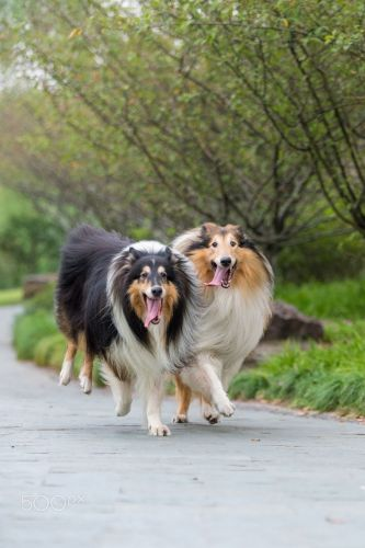 rough collie dogs