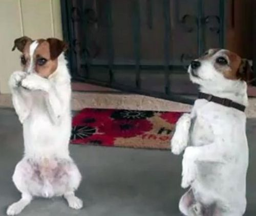 russell terrier dogs