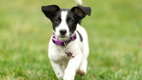 russell terrier puppy