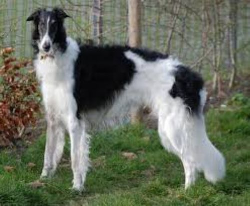russian hound dog