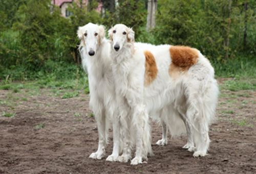 russian hound dogs
