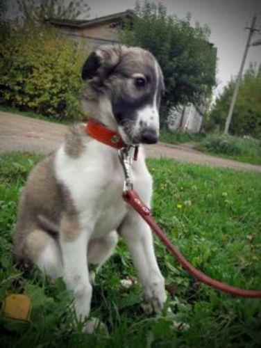 russian hound puppy