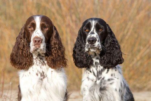 russian spaniel dogs
