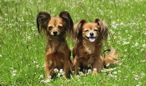 russian toy terrier dogs