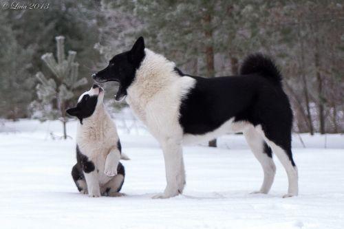 russo european laika dogs