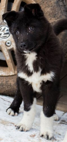 russo european laika puppy