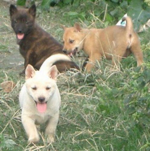 ryukyu inu puppies