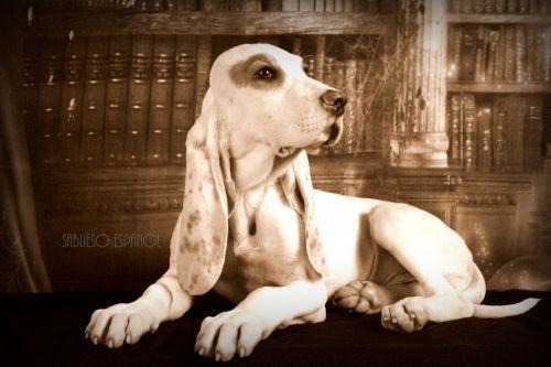 sabueso espanol puppy
