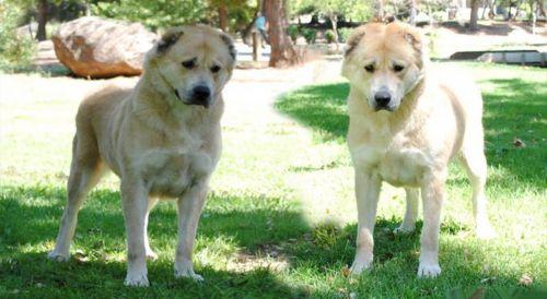 sage koochee dogs