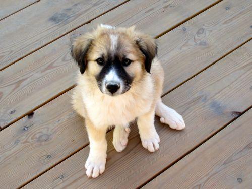 sage koochee puppy
