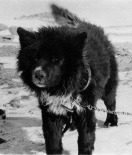 sakhalin husky
