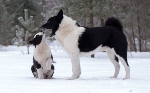 sakhalin husky dogs