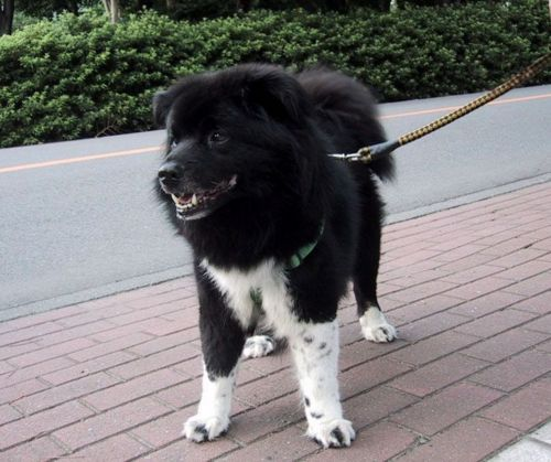 sakhalin husky puppy