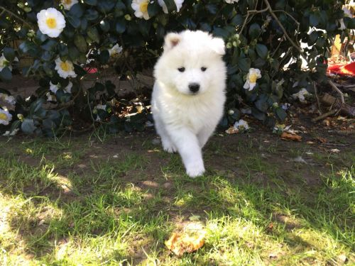 Samoyed Puppies for sale in Maryland Ave, Rockville, MD 20850, USA. price 550USD