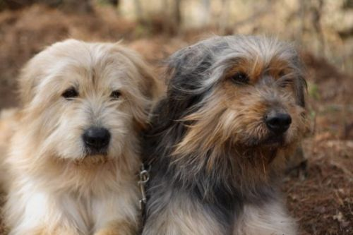 sapsali dogs